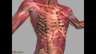Science - Human skeleton & different joints movement animation - English