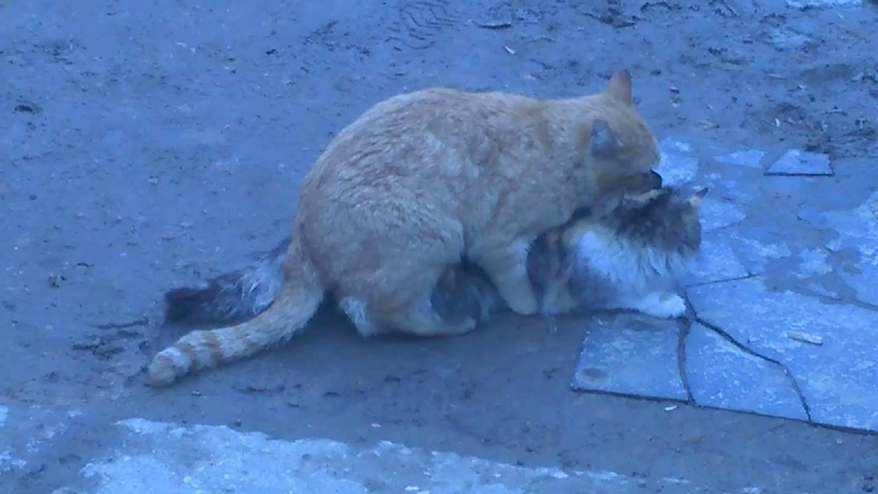 Размножение - Кот и кошка