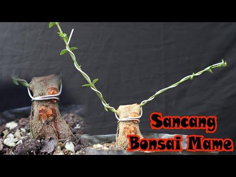 Cara Membuat Bonsai Sancang Mame