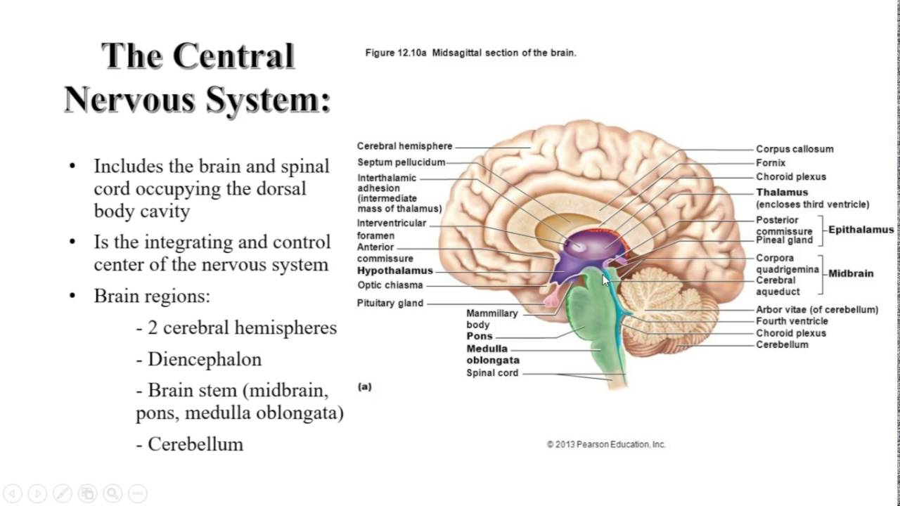 Anatomy and Physiology Lecture Chapter 12: Central Nervous System ...