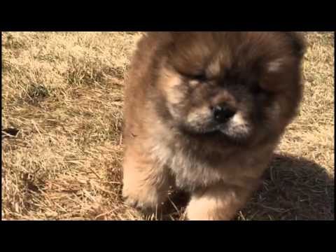 Chow Chow Puppies!