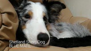 Shetland Sheepdog Sleepy Blue marle thumbnail