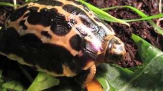Critically Endangered Baby Tortoise Eating