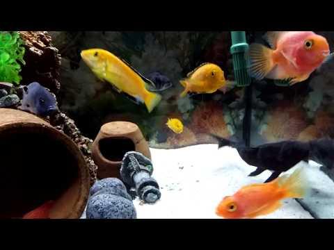 Akvaryum Ciklet Türleri, Akvaryum Balıkları