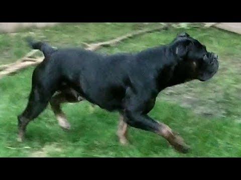 Renascence Bulldogges & Lycan Shepherds - Vega, Saga, Togo & Ulu
