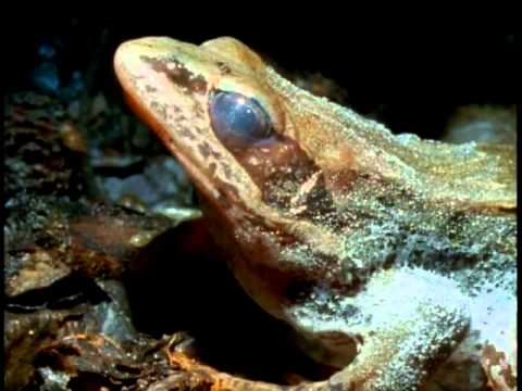Frozen Wood Frog survives the winter in Alaska