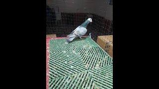 Bayrampaşa kuş mezati BEN BÖYLE BIRSEY GÖRMEDIM