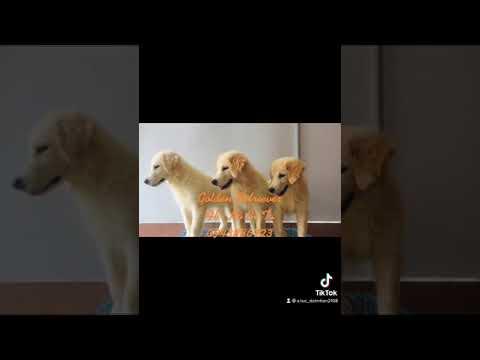 Golden Retriever | Bán chó golden Hà Nội  | 0943886723
