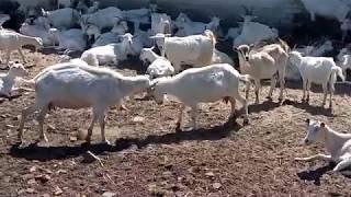 драка коз, кози