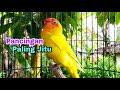 Pancingan Lovebird Terjitu Sangat Ampuh Untuk Memancing Lovebird Malas Bunyi  Mp3 - Mp4 Download