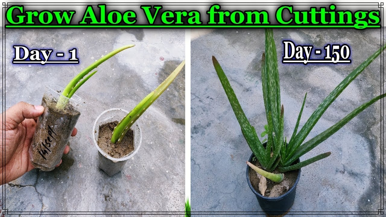 Easy Method To Grow Aloe Vera Plant Faster From Cuttings Ll How To Care And Watering Aloe Vera Plant Youtube