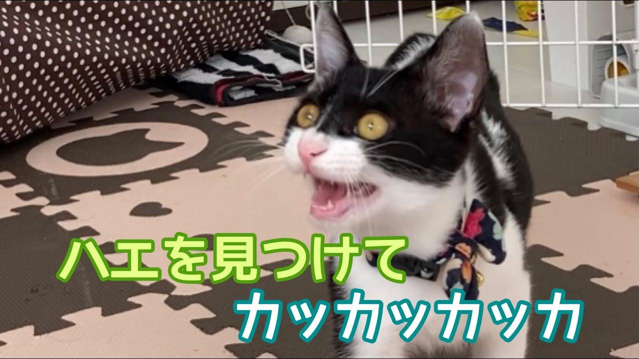 ハエを見つけて、カッカッカッカと鳴く子猫のハンター・ジン。