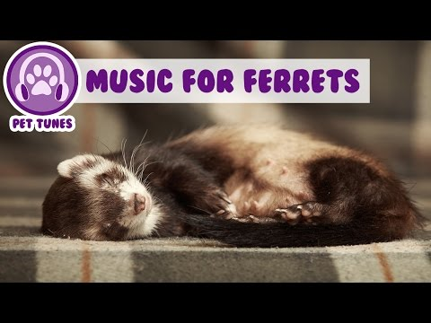 1 Hour Of Relaxing Music For Your Ferret! Unique Music To Keep Him Calm!