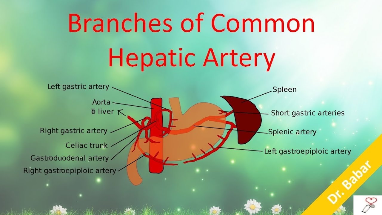 Branches of Common Hepatic Artery - YouTube