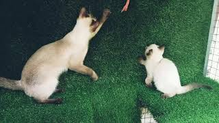 Siamese Cats.....നെ കണ്ടാല്ലോ