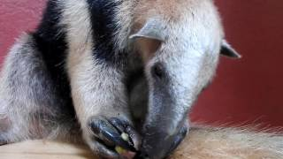 Cute animals - Anteater - Jaguar Rescue Center  - Costa Rica