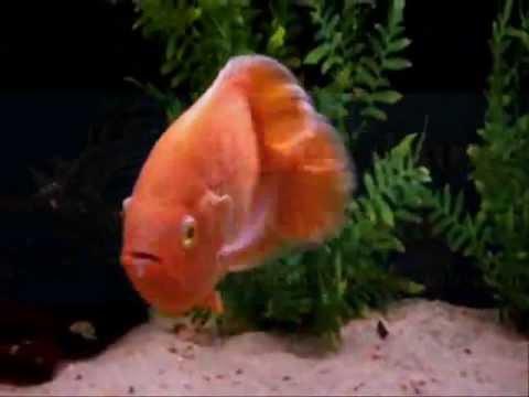Cá Tai Tượng Đỏ - Super Red Oscar - Thiên Đường Cá Cảnh