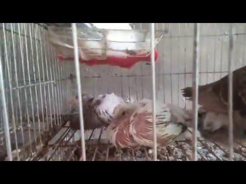 Mô hình nuôi chim bồ câu pháp bằng lồng công nghiệp hiên nay