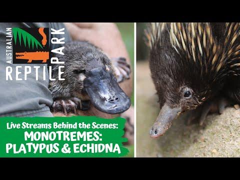 MEET THE MONOTREMES: - PLATYPUS & ECHIDNA (LIVE FOOTAGE) | AUSTRALIAN REPTILE PARK