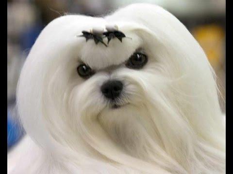 болонка порода собак