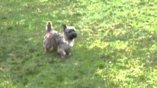 Cooper - Cairn Terrier-1.5 Years Old-brindle - Cairn Rescue Usa (crusa) Part 2