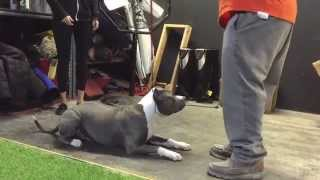 "Manmade's ""sampson"" Of Westcoast Xl Bully's; Training Day With Primal Canine Bay Area"