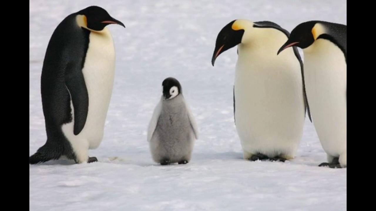 可愛すぎる赤ちゃんペンギン