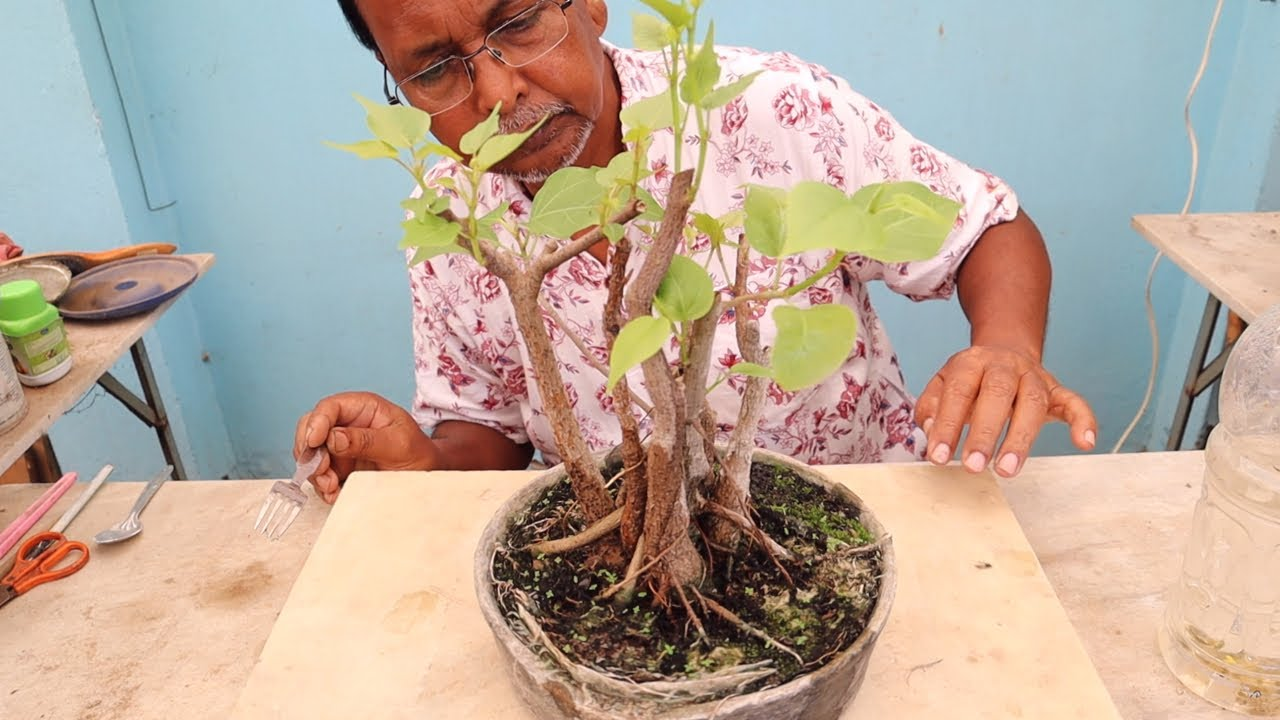 Bonsai from cutting branches of ficus trees