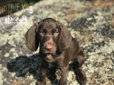 Jeep 3 month old GSP (SOLD)