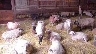 Sheep Barn Cam 11-22-2017 05:52:09 - 06:52:09 thumbnail