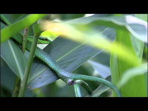 Green Parrot Snakes Mating