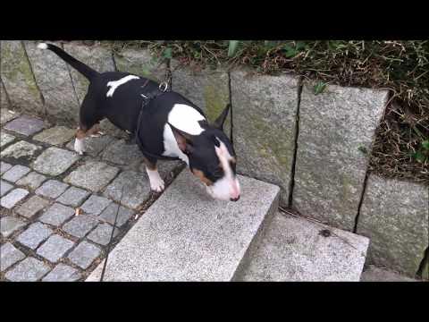 Miniatur Bullterrier Bulli geht Gassi