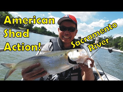 Shad Fishing Report Sacramento River | RED Hot!!!  But We Struggled.  LOL.