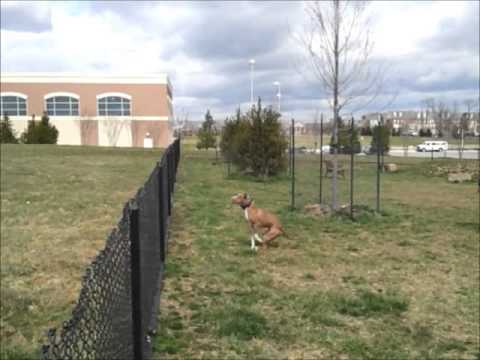 pitbull DYMOND JUMPING FENCE