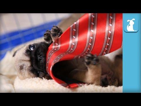 Pug Puppy Plays With Tie! SUPER CUTE! - Puppy Love