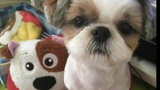 011 シーズー犬 ヒマワリの動画 うちのヒマワリのおもしろい動画や かわ...