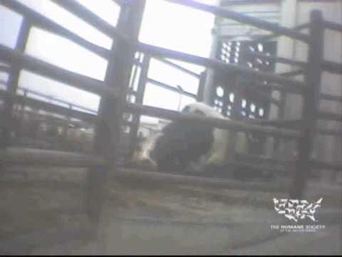 Warning: disturbing footage. Undercover investigation at Chinos Hallmark/Westland slaughterhouse