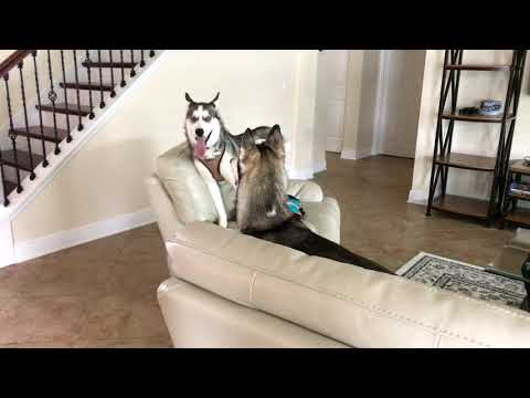 The Soothing Sounds of Two Huskies Hanging Out