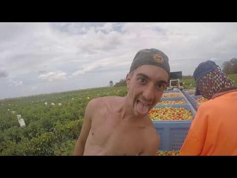 Bundaberg Tomato Wars