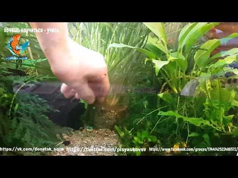 аквариумное растение волнистый кринум