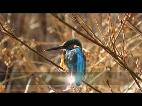 2018MFの撮り初め《カワセミ♂編》:翡翠:Alcedo atthis-神戸市立森林植物園-2018 01 13