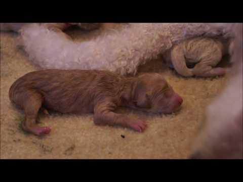 Nala Takes Her First Breaths - Newborn Goldendoodle Puppy