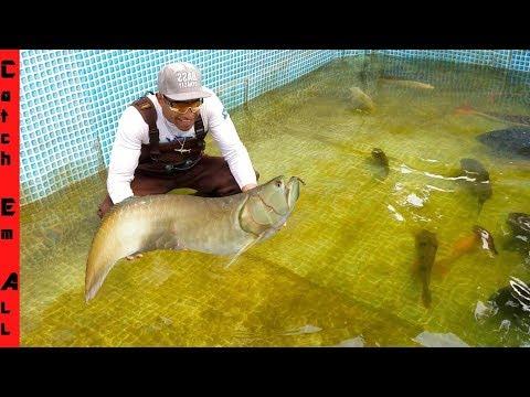 RARE AROWANA FISH is BACK in POOL!
