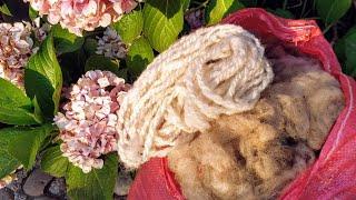 Preparing sheep's wool for spinning