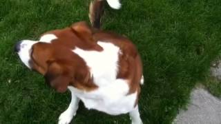 Boxer Pit Bull Cross Playing Ball (rip)
