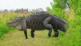 Massive alligator spotted at Florida wildlife Alligator Walks Near Group Of Photographers