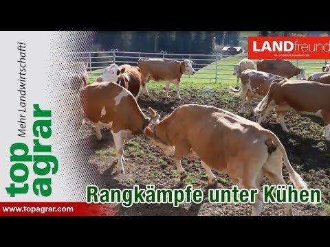 Rangkämpfe von Kühen