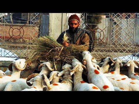The Shepherd and the Sheep flocks, Ladakh