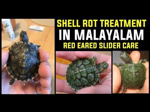 Treatment of Shell rot for Turtle in Malayalam | Red eared slider care |  Malayalam