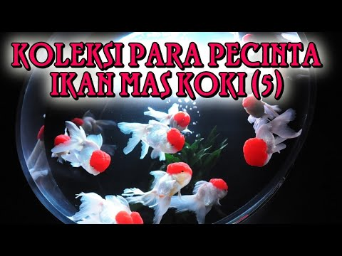 KOLEKSI PARA PECINTA IKAN MAS KOKI (5)